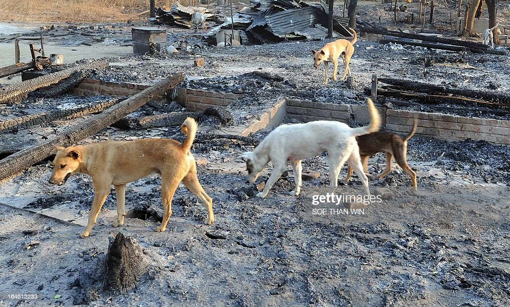 Stray dogs roam amid the ashes of houses which were burnt in communal violence in Yamethin, near the capital Naypyidaw, after unrest spread in central Myanmar on March 24, 2013. Dozens of houses and a mosque have been torched as communal violence spread in central Myanmar, officials said, adding scores of people have been arrested over the unrest. AFP PHOTO/Soe Than WIN