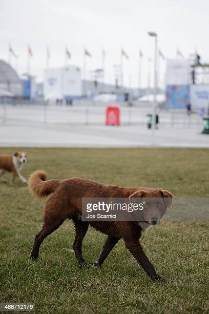Stray dogs roam the grounds of the Olympic Park on Day 4 of the 2014 Winter Olympics on February 11 2014 in Sochi Russia