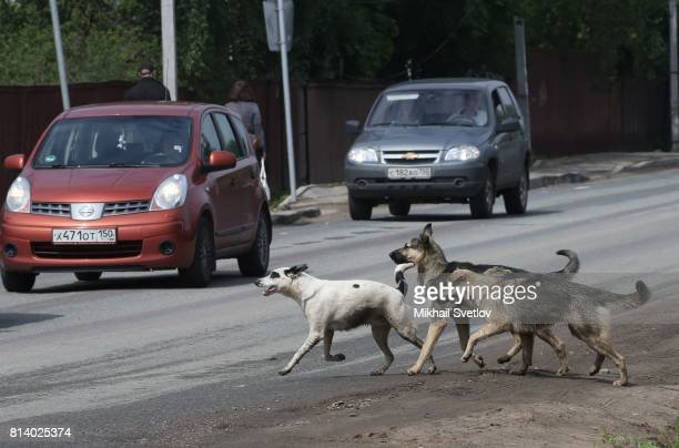 Stray dogs run by the road at Nakhabino July13 2017 near Moscow Russia The Russian rouble weakened on Thursday slipping back after a strong gain a...