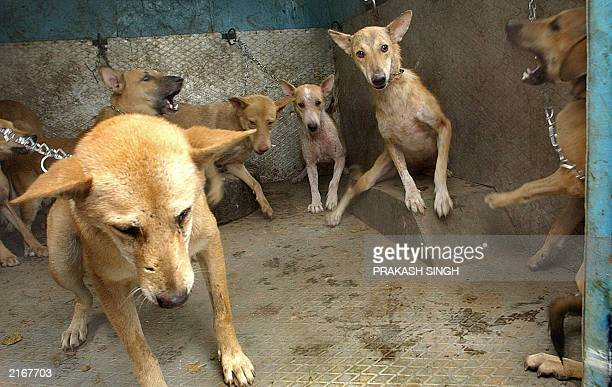 Stray dogs stand in a Municipal Corporation of Delhi van after they were captured during a sterilization and antirabies vaccination operation in New...