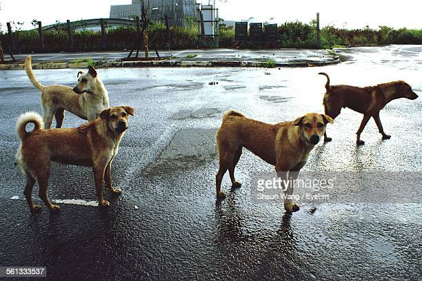 Stray Dogs Standing On Wet Street