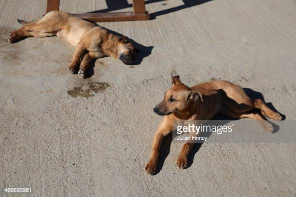 Stray dogs take a rest by the Gorky Gorod 960 hotel prior to the Sochi 2014 Winter Olympics at the Mountain Cluster on February 3 2014 in Sochi Russia