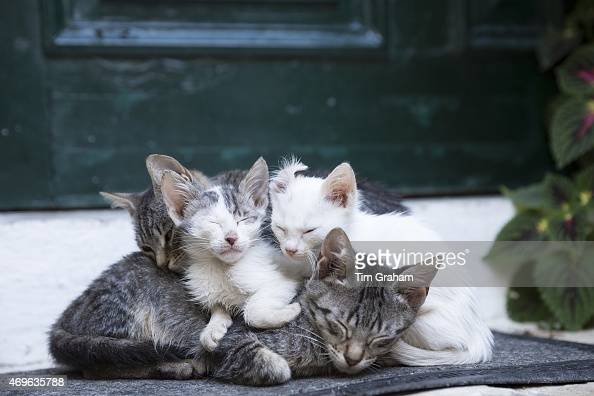 Stray feral mother tabby cat Felis Catus with her cute kittens curled up together at Paleokastritsa in Corfu Greece