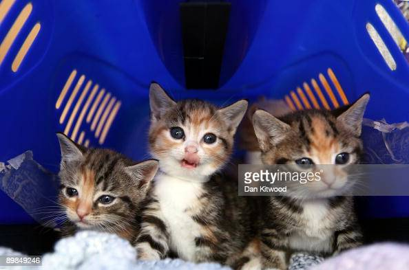 Stray kittens sit in a cat box at Battersea Dogs and Cats Home on August 18 2009 in London England Battersea Dogs and Cats Home is seeing a sharp...
