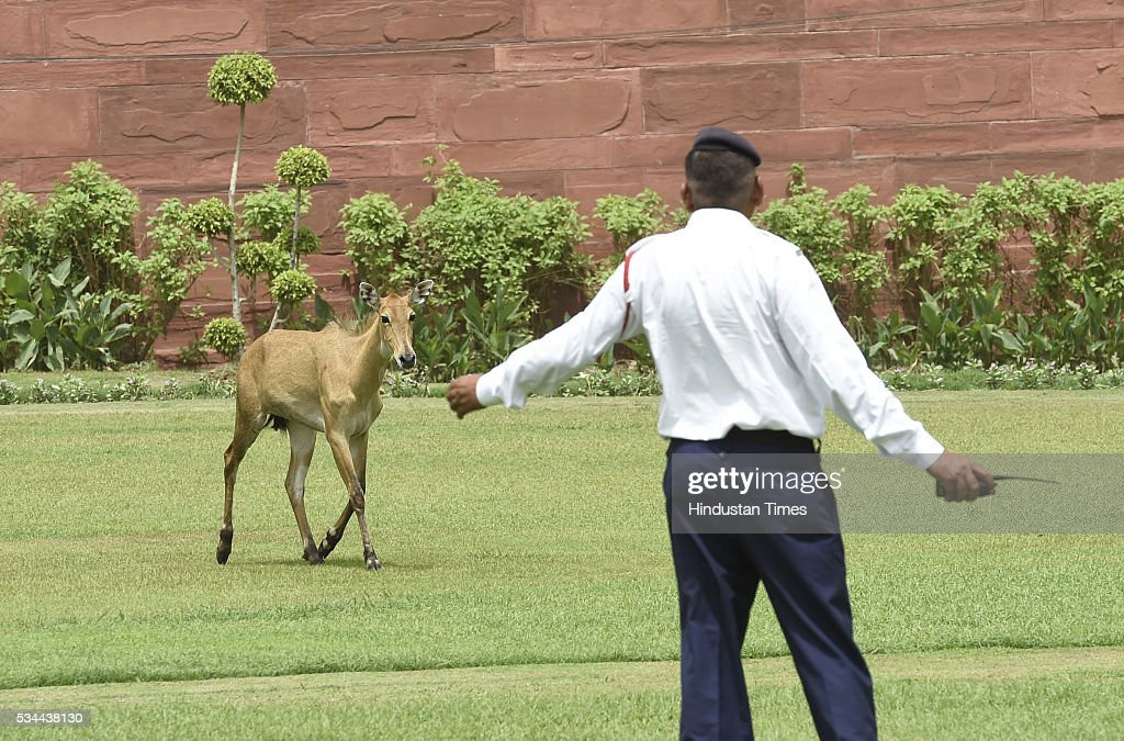 A stray Nilgai Calf was spotted lurking near a fountain at Vijay Chowk not far from PMO at North Block and South Block crossing at the Parliament House on May 26, 2016 in New Delhi, India. Police suspect that the Nilgai had strayed from the nearby Ridge Forests and reached near North Block.