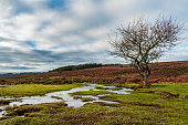 A stream gently flowing past a leafless tree in The New Forest, England, UK. The scene is under a dramatic cloudy sky on a winter day with woodland in the background and plenty of copy space included.