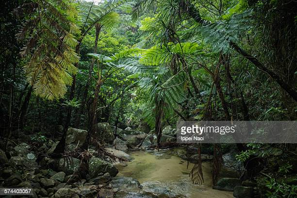 Stream in tropical rainforest jungle, Ishigaki
