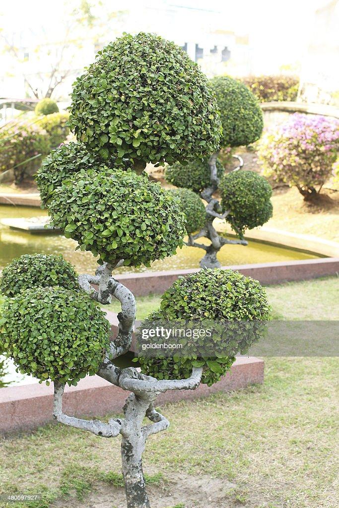 Streblus asper tree : Stock Photo