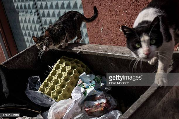 Street cats search for food in dumpster on a street in Balat on May 29 2015 in Istanbul Turkey Today Turks all across the country will vote in a...