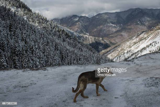 A street dog is seen at a roadside stop on April 11 2017 outside Sivas Turkey Campaigning by both the 'Evet' and 'Hayir' camps has intensified across...