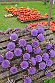 Street sale of blooming artichokes with bright lilac blossoms in autumn. Upper Bavaria, near Laufen, Germany, Europe.