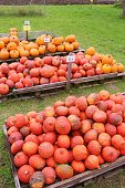 Street sale of red and orange pumpkins besides the highway, in autumn. Upper Bavaria, near Laufen, Germany, Europe.