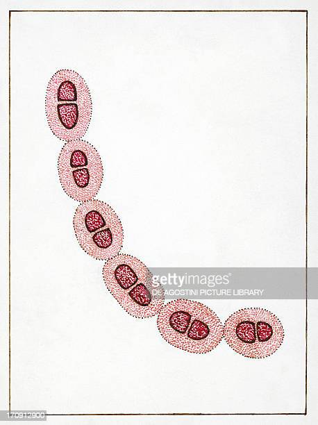 Streptococcus pneumoniae or pneumococcus bacteria responsible for pneumonia Drawing