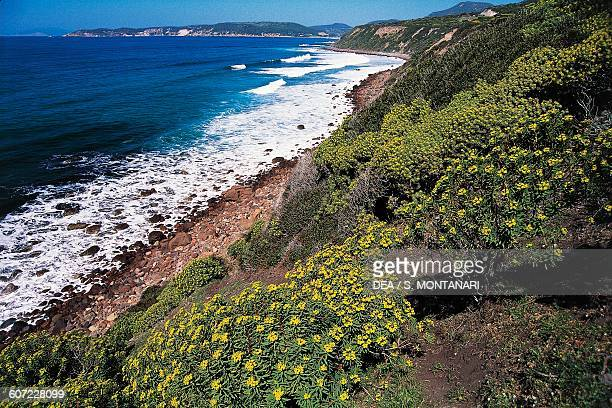 Stretch of coast between Bosa and Alghero with wild flowers in the foreground Sardinia Italy