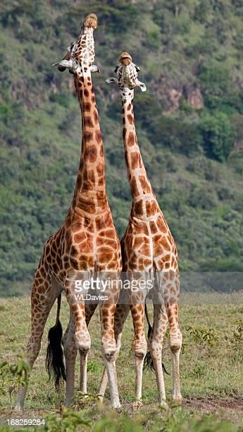 Stretching Giraffe