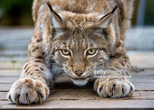 Stretching lynx