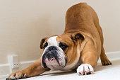 Stretching of English bulldog