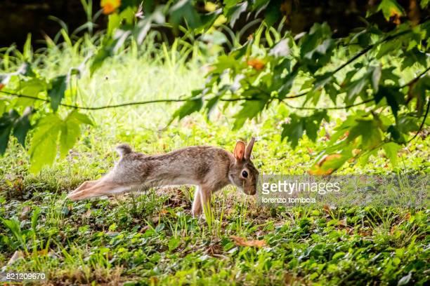 Stretching Wild Rabbit