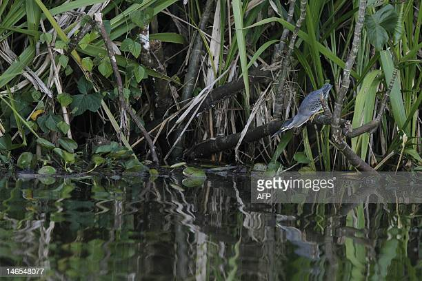 A striated Heron stand still fishing at the Limoncoha lake next to the Yasuni Ecuadorean National Park in the Orellana Province Ecuador on June 16...