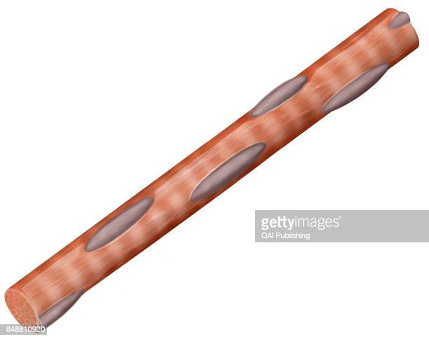 Striated muscle fiber Muscle cell having numerous nuclei and characteristic transversal striation