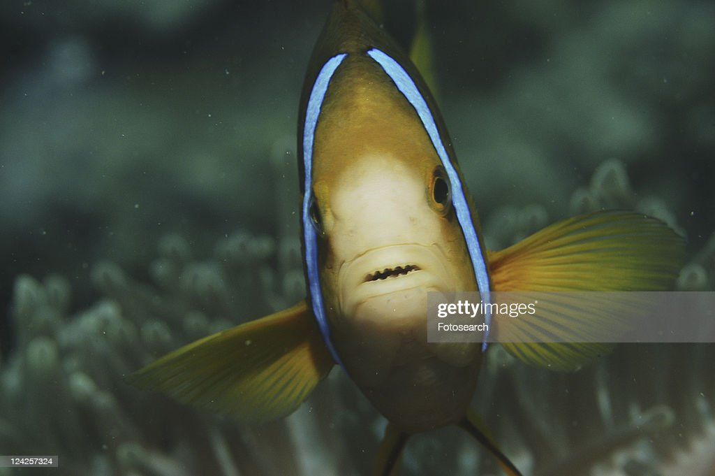 Striped Anemonefish (Amphiprion clarkii), details of head, Raiatia, French Polynesia, Southern Pacific Ocean