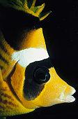 Striped Butterflyfish
