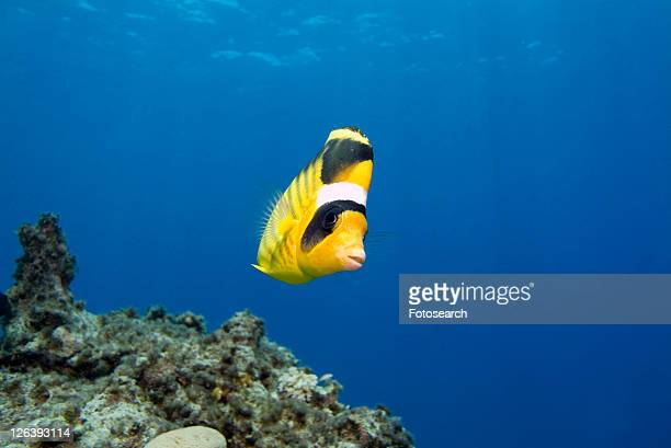 Striped Butterflyfish (Chaetodon fasciatus). Red Sea.