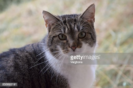 striped cat : Stock Photo