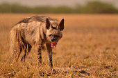 Striped Hyenas get their name because of the stripes on their body. Their behavior is nocturnal, but can be seen getting out of the den around dusk and dawn. The image is clicked at Velavadar (Bhavnag