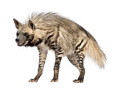 Striped Hyena in front of a white background.