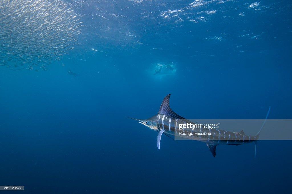 Striped marlin (Kajikia audax) in the south pacific side of Baja California peninsula, Mexico, to chasing sardine migration