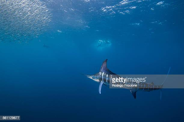 Striped marlin (Kajikia audax) in the south pacific side of Baja California peninsula, Mexico, to chasing sardine migration