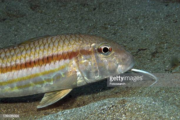 Striped Mullet (Mullus surmeletus), clearly showing barble under chin on sandy seabed, Gozo, Maltese Islands, Mediterranean