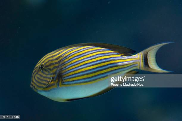 Striped Surgeonfish This species has much of the body full of blackedged blue and yellow stripes