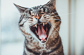 Striped tabby cat giving a big yawn sitting facing the camera with its mouth wide open showing the tongue and teeth