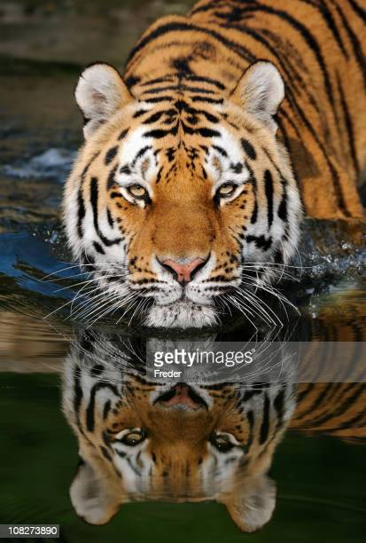 A striped tiger entering water