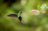 Striped-tailed hummingbird frozen in flight while feeding.