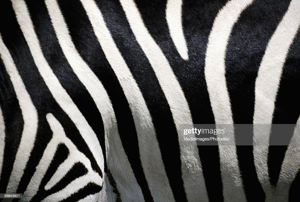 Stripes on Zebra, extreme close-up