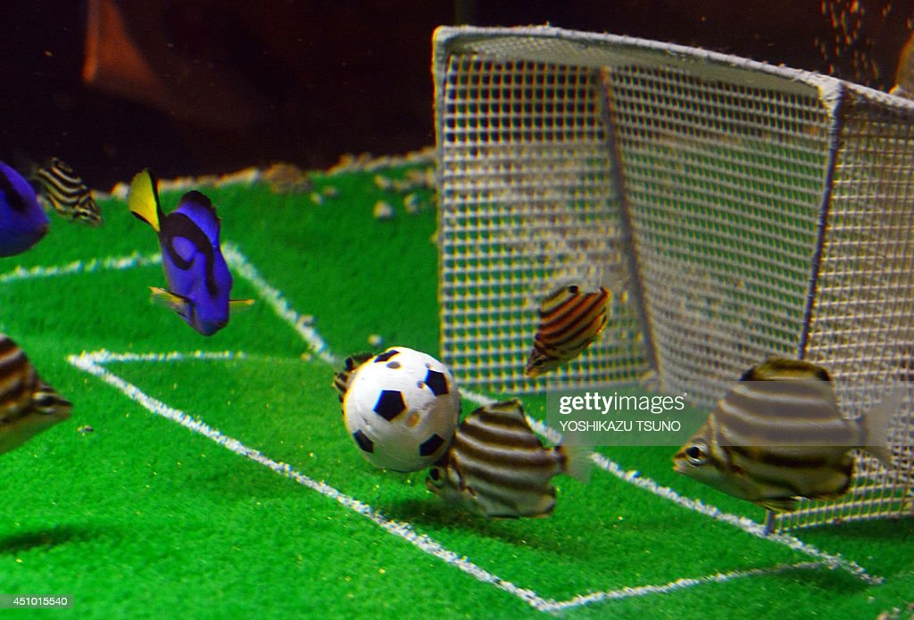 Stripey and Blue Palett Surgeon fish take food from a fishbait packed ball in a tank at the Hakkeijima Sea Paradise aquarium in Yokohama on June June 22, 2014 as part of an attraction displayed until June 29 during the FIFA World Cup in Brazil. Japan (blue jersey colour) will play against Colombia (yellow and black stripe jersey) on June 24 in their final group C match at the World Cup. AFP PHOTO / Yoshikazu TSUNO