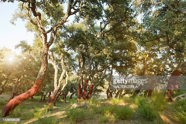 Stripped cork trees in rural forest