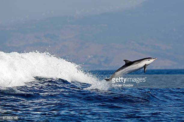 Stripped Dolphin in the strait of Gibraltar.