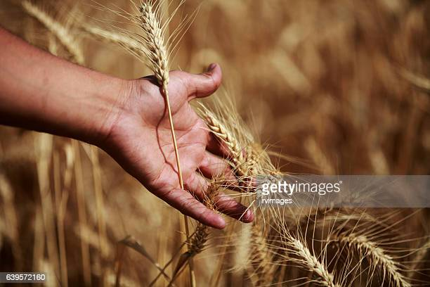Stroking with hands in wheat