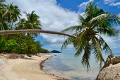 Coconut tree spread out over the beach of Koh Phangan, Thailand
