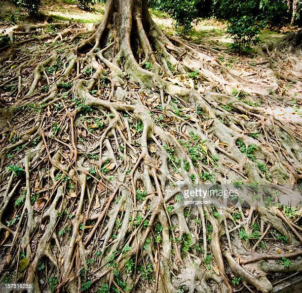 Starke Root Hintergrund