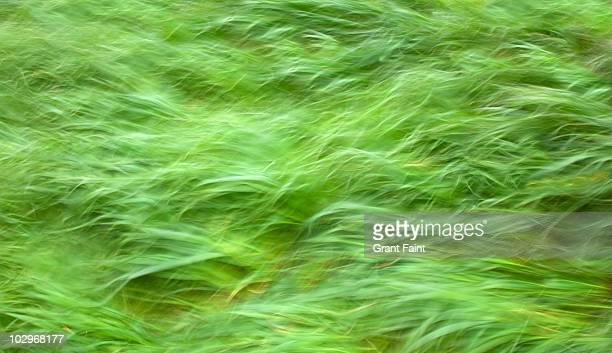 Strong wind blowing grasses.