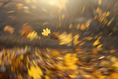 Strong wind blowing yellow maple leaves. Spiral blur tornado effect with focus on a single maple leaf. Fresh forest autumn season background