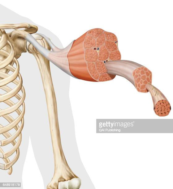 Structure of a skeletal muscle This image shows the structure of a skeletal muscle revealing the muscle fibers bundle the motor neuron the muscle...