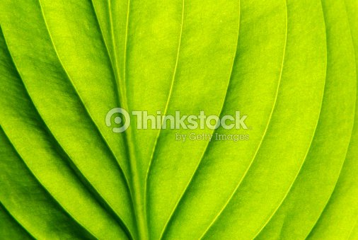 structure of leaf : Stock Photo