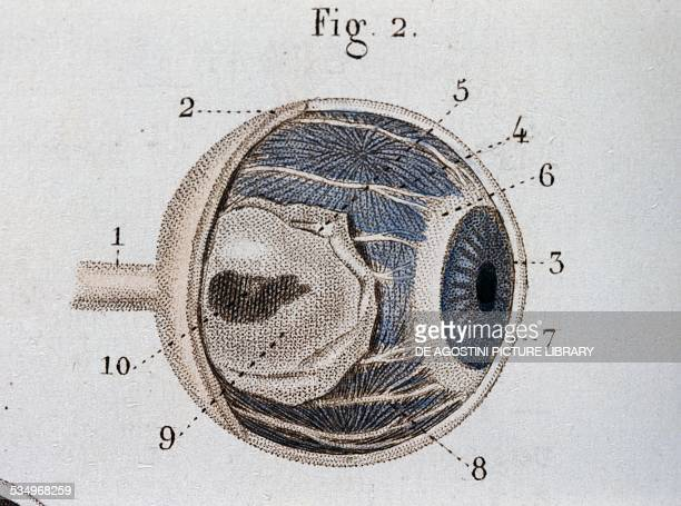 Structure of the eye anatomical plate