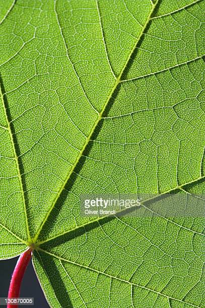 structures on a maple leaf, macro